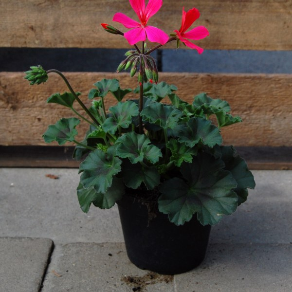 Beetgeranie (Pelargonium x intermedia Caliope)