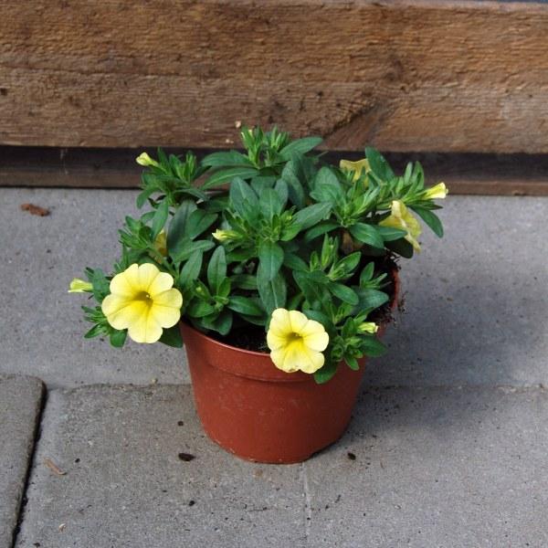 Calibrachoa (Mini-Petunie)