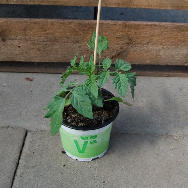 Tomatenpflanze einfach
