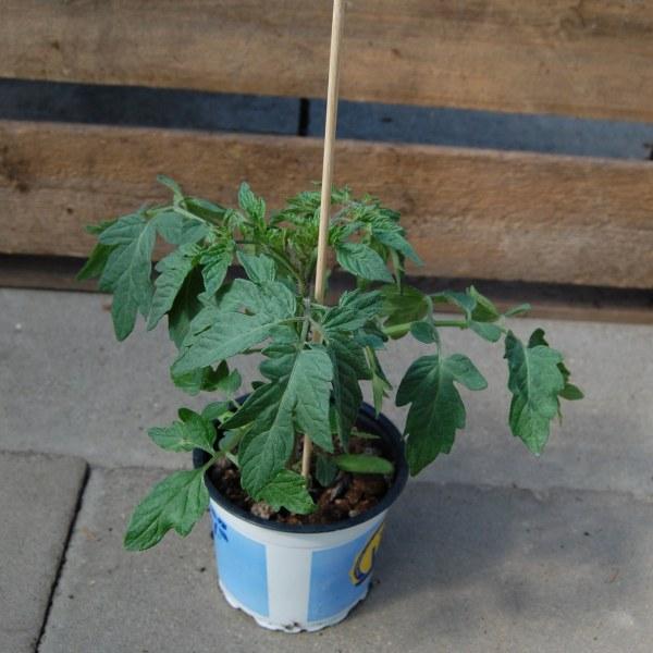 Tomatenpflanze veredelt