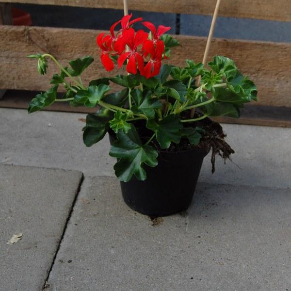 Hängegeranie Cascade (Pelargonium x peltatum Cascade)