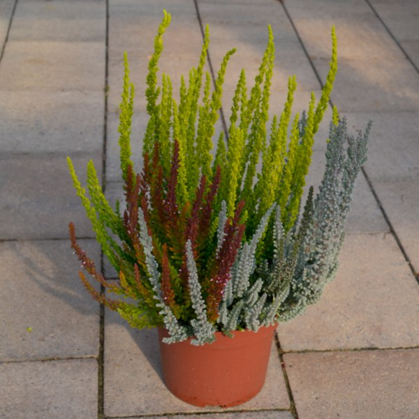 "Knospenheide (Calluna vugaris ""Garden Girls"" und ""Garden Girls Sunset"")"