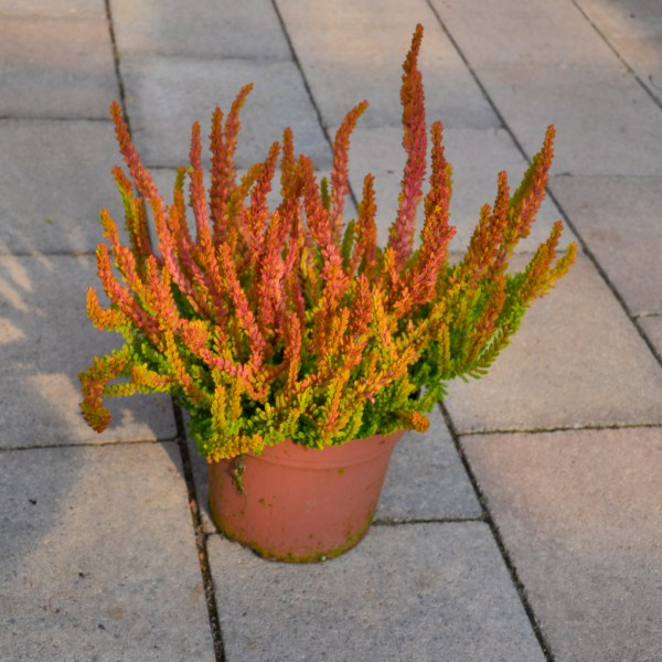 "Knospenheide (Calluna vugaris ""Garden Girls Sunset"")"