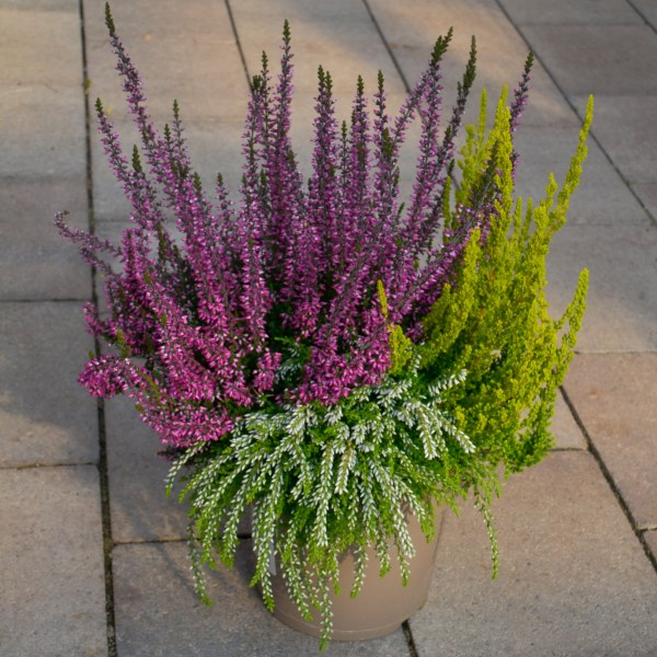 "Knospenheide-Mix (Calluna vugaris ""Garden Girls"", ""Garden Girls Sunset"" und ""Rasta Girls"")"