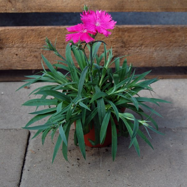 Nelke (Dianthus chinensis)
