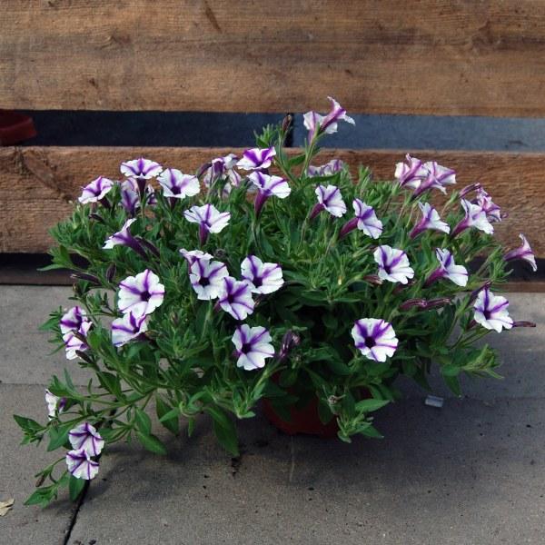 Petunie kleinwüchsig, ungefüllt (Petunia Cultivar)