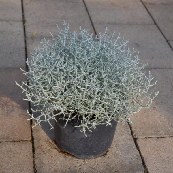 Stacheldrahtpflanze (Calocephalus)
