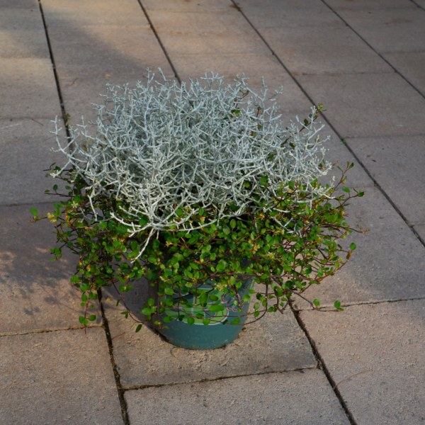 Stacheldrahtpflanze (Calocephalus) mit Mühlenbeckia